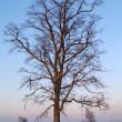 The Tree on sundown — Stock Photo