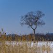 Stock Photo: Tree and bulrush in winter