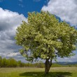 Постер, плакат: The Solitary flowering tree