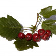 Stock Photo: The Branch of hawthorn with fruits