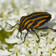 Large striped bedbug on white flowers — Stock Photo #1785777