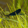 Brilliant blue dragonfly in herb — Stock Photo #1785861