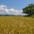 Field ripe wheats Russia — Stock Photo #1786361