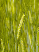 Unripe wheat ear — Stock Photo
