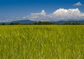 The Field unripe wheats Russia — Stock Photo