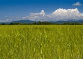 The Field unripe wheats Russia — Stock Photo