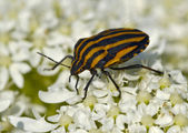 Large striped bedbug on white flowers — Stock Photo