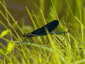 The Brilliant blue dragonfly in herb — Stock Photo