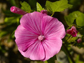 Pink garden flower close-up — Stock Photo