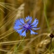 Dark blue field flower with bug — Stock Photo #1799587