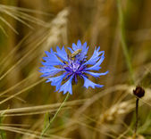 Dark blue field flower with a bug — Stock Photo