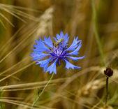 Dark blue field flower with a bug — Stock Photo