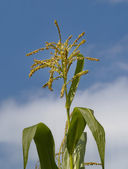 Inflorescence of corn against the sky — Stock Photo