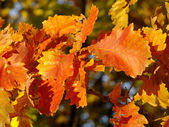 Bright orange leaves of an oak — Stock Photo