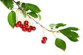 Cherry branch with few berries — Stock Photo