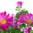 Bunch of pink wild chrysanthemum — Stock Photo