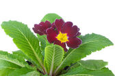 Primrose flowers — Stock Photo