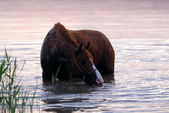 Chestnut horse standing in the water — Stock Photo