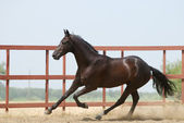 Young dark brown trakehner horse — Stock Photo