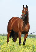 Brown trakehner horse — Stock Photo