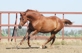Chestnut trakehner horse — Stock Photo