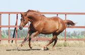 Chestnut trakehner horse — Stock Photo