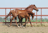 Chestnut mare and foal — Stock Photo