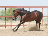 Young brown trakehner horse — Stock Photo