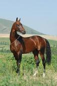 Akhal-Teke stallion and the mountains — Stock Photo