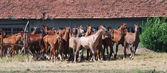 Herd of arabian foals — Stock Photo
