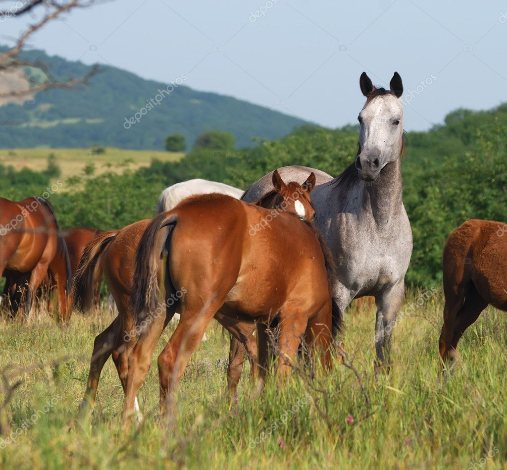 Arabian horses on pasture on mountain — Stock Photo #1685491