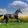 Stock Photo: Beautiful akhal-teke horse