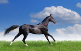 Beautiful akhal-teke horse — Stock Photo