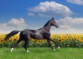 Beautiful akhal-teke horse — Stock Photo
