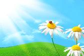 Ladybug on daisy — Stock Photo