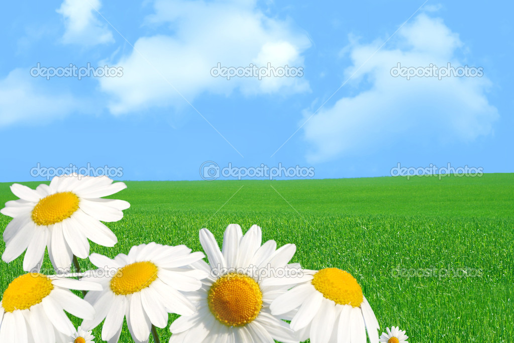 field of daisies — Stock Photo #1707551