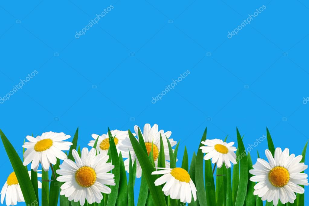 field of daisies — Stock Photo #1709302