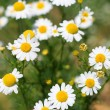 Daisies — Stock Photo #1716856