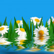 Daisies — Stock Photo #1716860