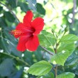 Red hibiscus — Stock Photo #1717083