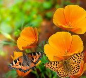 Butterflies on flowers — Stock Photo