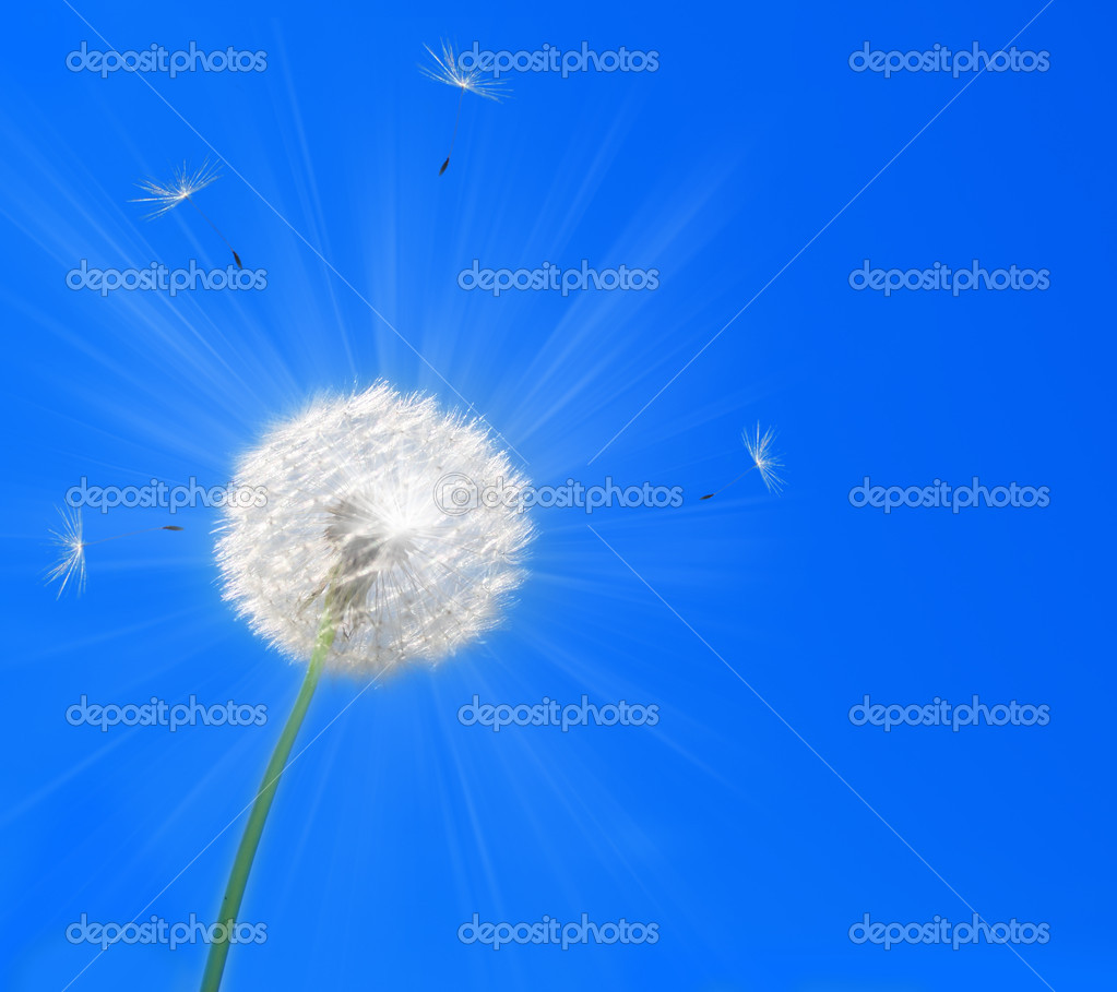 Dandelion — Stock Photo #1716867