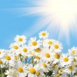 Daisies — Stock Photo #1752992