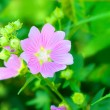 Stock Photo: Pink flowers