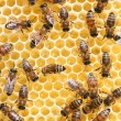 Honey comb and a bee working — 图库照片 #1774469