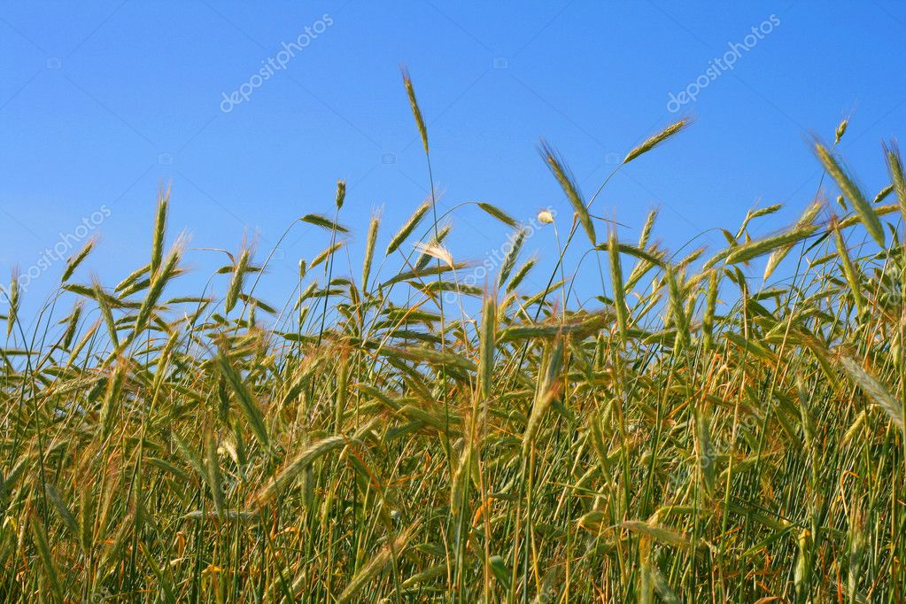 Wheat — Stock Photo #1773479