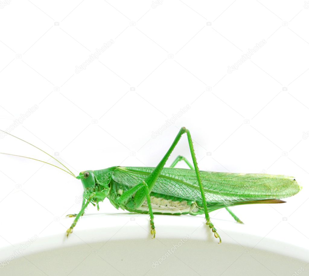 Isolated green grasshopper — Stock Photo #1774422