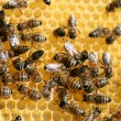 Honey comb and bee working — Stock Photo #1786614