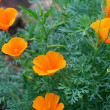 Stock Photo: California poppy