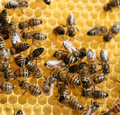 Honey comb and a bee working — Stock Photo